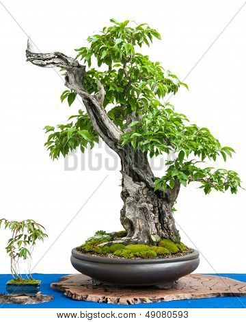 Cornel Cherry (cornus Mas) As Asian Art Of A Bonsai Tree