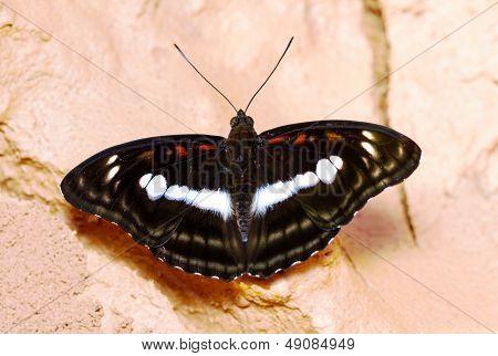 Staff Sergeant Butterfly