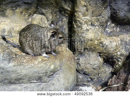 Degu - Brush Tailed Rate