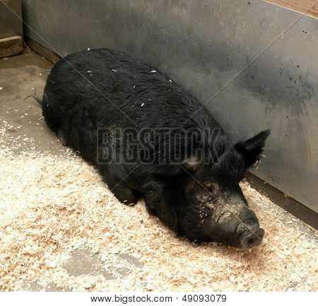 Guinea Forest Hog