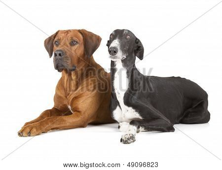 Greyhound And Rhodesian Ridgeback
