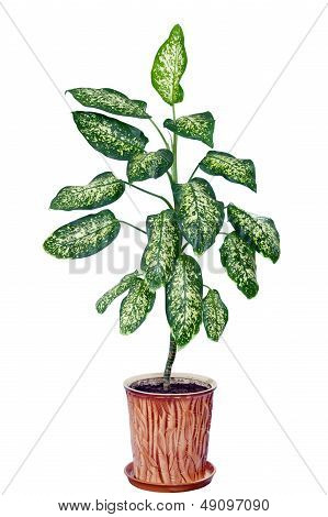 Dieffenbachia in flowerpot isolated on white