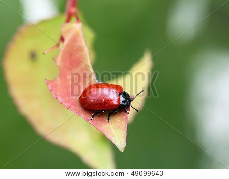 little Red Beetle On A Leaf