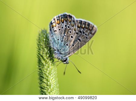 Blue Butterfly Sitting On The Grass
