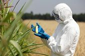 picture of inspection  - biotechnology engineer  examining immature corn cob on field - JPG