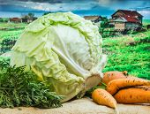 image of exhumed  - fresh cabbage and carrots amid the countryside and fields - JPG