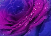 pic of rose close up  - beautiful blue rose with water drops  surface close up background - JPG