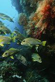 image of raja  - Raja Ampat Indonesia Pacific Ocean school of oriental sweetlips  - JPG