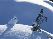 stock photo of hare  - Arctic hare - JPG