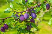 stock photo of orchard  - Ripe plums hanging from a tree in an orchard - JPG