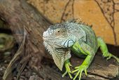 stock photo of dragon head  - large green lizard sitting on tree bark - JPG
