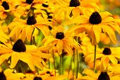 image of black-eyed susans  - Bright yellow rudbeckia or Black Eyed Susan flowers in the garden - JPG