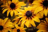 pic of black-eyed susans  - Bright yellow rudbeckia or Black Eyed Susan flowers in the garden