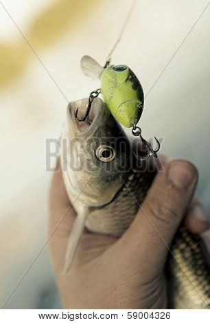 Chub caught on spinning bait in fisherman's hand, toned image