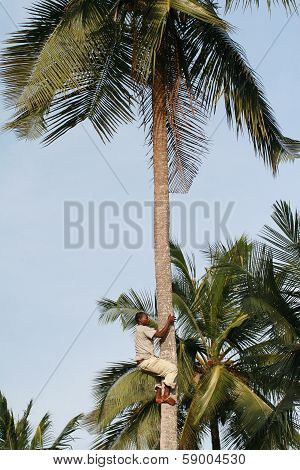 One Young Black African Man Climbs Up  Trunk Of Palm.