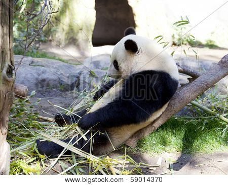 Panda baby Bear is resting in the shadow