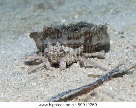 Jellyfish Crab