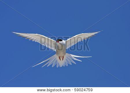 Arctic tern, Sterna Paradisaea.