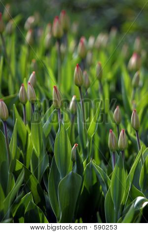 Buds Of Tulips
