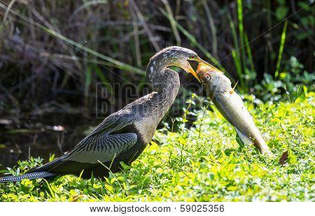 American Anhinga ,Everglades National Park, Florida