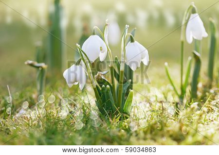 snowdrop flower in nature with dew drops, shallow DOF