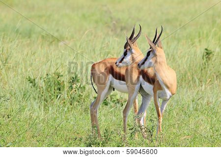 Springbok - Wildlife Background from Africa - Unison of Stare