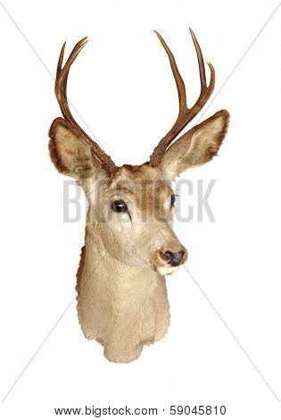 a 3x3 Black-tailed deer head mount isolated on white background