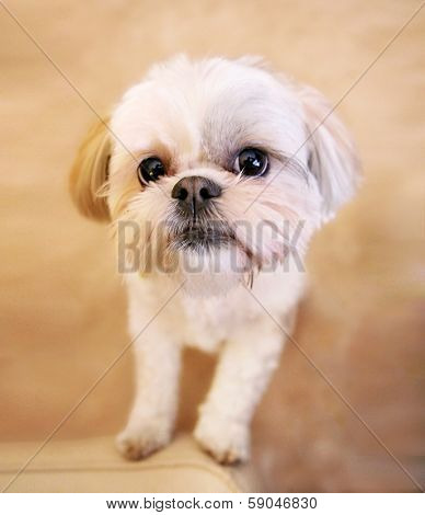 a cute shih tzu looking at the camera