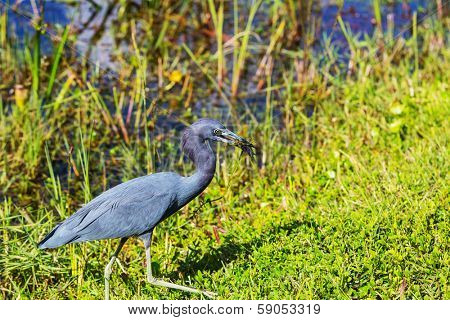 Blue Heron, Florida, USA