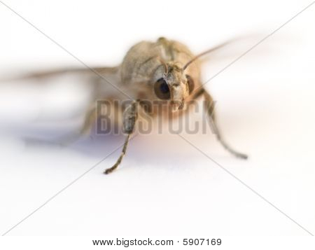 Moth Isolated On A White Background