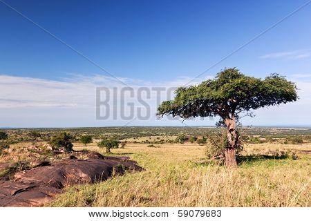 Single tree on savanna, bush. Landscape of Africa. Tsavo West, Kenya.