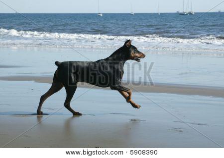 Doberman at Ocean