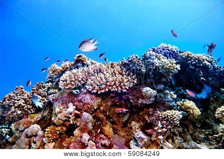 Group of coral fish  blue water.