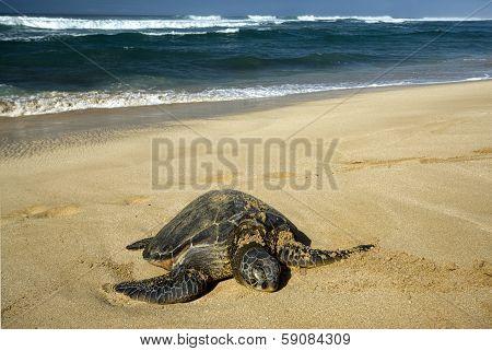 Green sea turtle on beach, North Shore of O'ahu, Hawaii