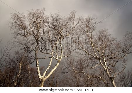 Sunlit birches against stormy sky