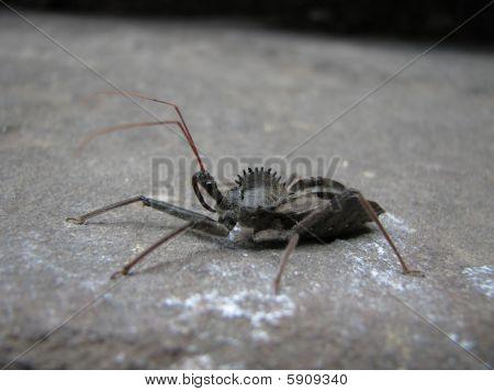 Wheel Bug (arilus Cristatus)