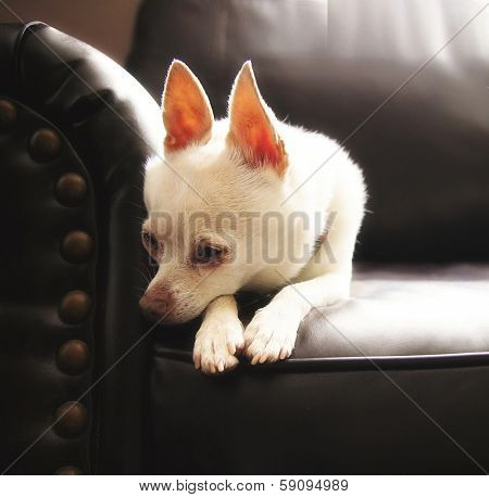 a cute chihuahua on a couch (high key natural light shot)