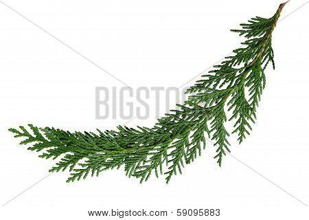 Cedar Cypress Leaf