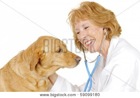older female Veterinarian checking out a  labrador mix, isolated on white