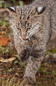 stock photo of bobcat  - Bobcat Kitten  - JPG