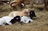image of baby goat  - Three Goat babies sleeping on dry straw among adult goats - JPG