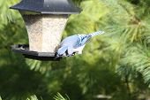 stock photo of blue jay  - Blue Jay  on a bird feeder foraging seeds - JPG