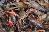 image of acadian  - live crawfish ready to be cooked in crawfish boil - JPG