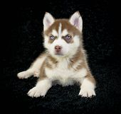 picture of puppy eyes  - A sweet red husky puppy with beautiful blue eyes laying on a black background - JPG
