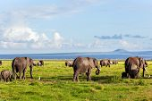 Elephants herd on African savanna walking towards Mount Kilimanjaro. Safari in Amboseli, Kenya, Afri