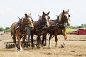 pic of horse plowing  - horse - JPG