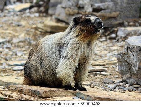 A Marmot in Glacier National Park