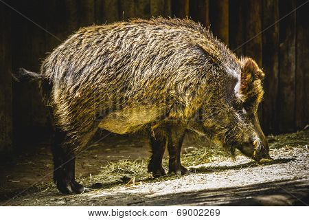 boar following a trail to smell