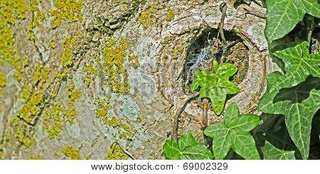 Ivy And Walnut
