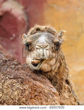 Headshot Of Dromedaris With Funny Expression